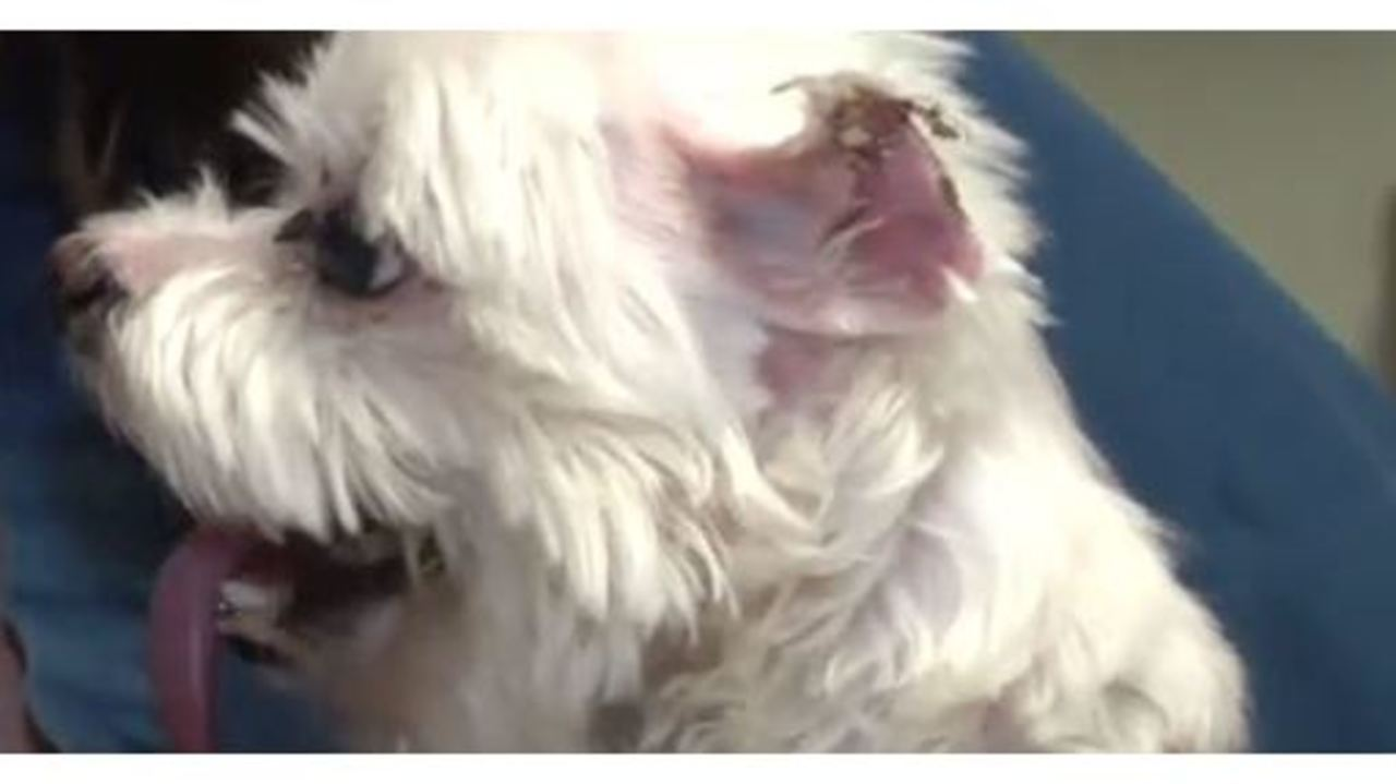 Dog loses ears after grooming mishap solutioingenieria Images