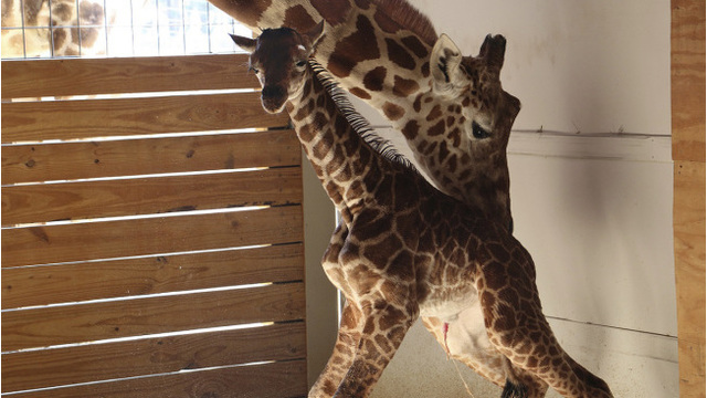 Zoo teases permanent camera for April the giraffe and baby