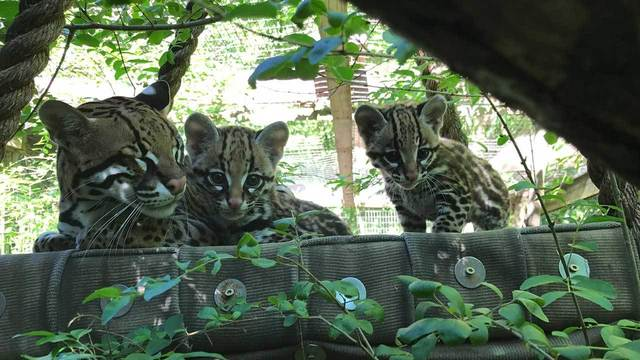 help name the ocelot kittens at greenville zoo
