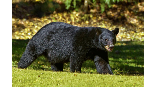 Woman punches bear, gets help from Chihuahua to survive attack