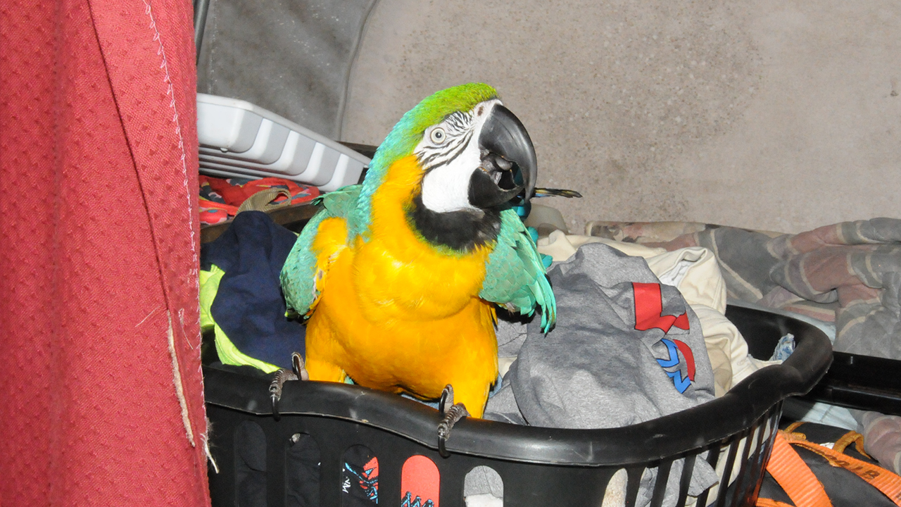 Stolen South African Macaw Parrot